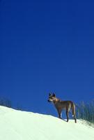 砂丘に立つディンゴ 32240001051| 写真素材・ストックフォト・画像・イラスト素材|アマナイメージズ