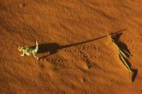赤い砂の上を歩くモロクトカゲ