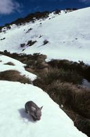雪の上のヒメウォンバット 2歳
