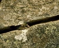 岩の中にすむブーラミス