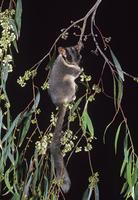 ユーカリの枝をよじのぼるフクロモモンガダマシ