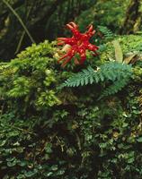 アカカゴタケ属の一種