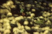 イネ科植物の一種