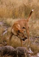カンガルーを捕食するディンゴ