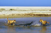 レースオオトカゲを襲うディンゴ 32240001394| 写真素材・ストックフォト・画像・イラスト素材|アマナイメージズ