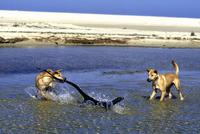 レースオオトカゲを襲うディンゴ 32240001395| 写真素材・ストックフォト・画像・イラスト素材|アマナイメージズ