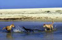 レースオオトカゲを襲うディンゴ 32240001410| 写真素材・ストックフォト・画像・イラスト素材|アマナイメージズ