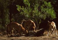 カンガルーの死骸を食べるディンゴ 32240001469| 写真素材・ストックフォト・画像・イラスト素材|アマナイメージズ