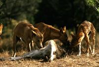 カンガルーを捕食するディンゴ 32240001470| 写真素材・ストックフォト・画像・イラスト素材|アマナイメージズ
