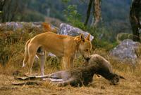カンガルーの死骸を食べるディンゴ