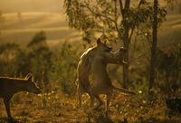 ケンカ遊びするディンゴ 32240001492| 写真素材・ストックフォト・画像・イラスト素材|アマナイメージズ