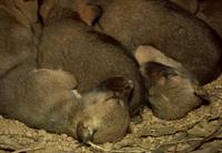 巣穴の中のディンゴの子 32240001552| 写真素材・ストックフォト・画像・イラスト素材|アマナイメージズ