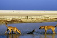 レースオオトカゲを追いかけるディンゴ