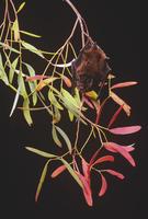 グールドミゾクチコウモリ
