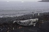 ウェッデルアザラシとヒゲペンギン 32240001652| 写真素材・ストックフォト・画像・イラスト素材|アマナイメージズ