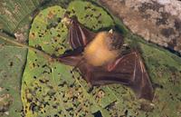 ニューギニアヒメテングフルーツコウモリ