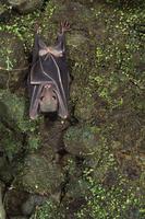 ジュフロワルーセットオオコウモリ