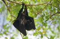 オオケナシフルーツコウモリ