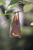 ニューギニアケナシフルーツコウモリ