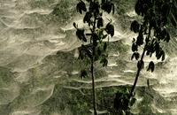 スズミグモの仲間の巣