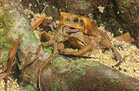アマガエルを食べるオオヒキガエル