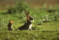 アナウサギ 32240001886| 写真素材・ストックフォト・画像・イラスト素材|アマナイメージズ