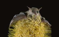 シタナガフルーツコウモリ