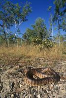 ズグロニシキヘビ