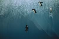 氷山から飛び降りるヒゲペンギン