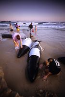 座礁したオキゴンドウと救出しようとする人々
