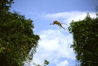 ジャンプして川を渡るテングザルの母子