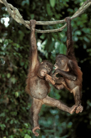 ボルネオオランウータン 遊ぶ