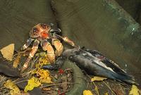 アカアシカツオドリを食べるヤシガニ 32240002471| 写真素材・ストックフォト・画像・イラスト素材|アマナイメージズ