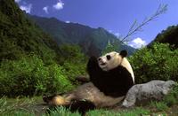 寝転びながら食べるジャイアントパンダ