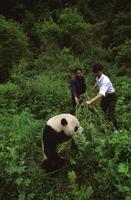 ジャイアントパンダに餌を運ぶ係員