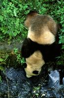 川から水を飲むジャイアントパンダ