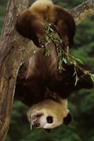 逆さにぶら下がるジャイアントパンダ