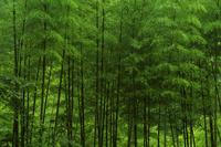 中国 黄山の竹林