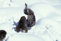 雪の中で遊ぶニホンザル