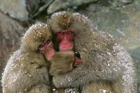 抱き合って暖をとるニホンザル
