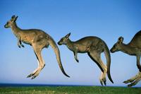 並んで跳ねる三匹のオオカンガルー 32240002613| 写真素材・ストックフォト・画像・イラスト素材|アマナイメージズ