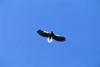 飛ぶオオワシ