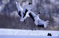 タンチョウ ダンス 32240002664| 写真素材・ストックフォト・画像・イラスト素材|アマナイメージズ
