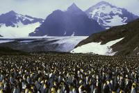 オウサマペンギン コロニーで孵化させる 32240002781  写真素材・ストックフォト・画像・イラスト素材 アマナイメージズ