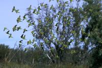 セキセイインコ 群れで飛ぶ