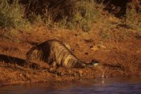 エミュー 水を飲む 32240002947  写真素材・ストックフォト・画像・イラスト素材 アマナイメージズ