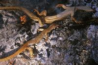 ヒャクメオオトカゲを料理するアボリジニ(マウント・リエビグ出身ルリチャ語を話す)の人々