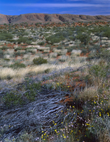 セネシオ・グレゴリーやムギワラギクの仲間の咲く砂漠