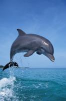 ジャンプするハンドウイルカ(バンドウイルカ) 32242000033| 写真素材・ストックフォト・画像・イラスト素材|アマナイメージズ