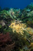 泳ぐリーフィーシードラゴン 32242000037| 写真素材・ストックフォト・画像・イラスト素材|アマナイメージズ